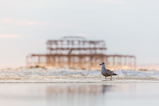 Herring gull and west pier at low tide
