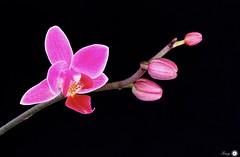 Pink and black (Trayc99) Tags: smileonsaturday blackattheback floral beautyinnature beautyinmacro floralart delicate blackbackground bright colourful flowerphotography macro closeup