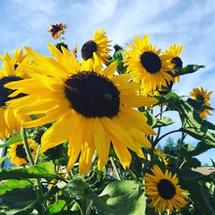 My sunflowers 2017 (Mickey JT) Tags: summer hoquiam sunflowers