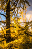 DSC08335 (www.mikereidphotography.com) Tags: larches fallcolors autumn canada canadianrockies lakemoraine larchvalley sentinelpass 85mm otus zeiss mirrorless a7r2 landscape golden