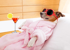 Dog Spa Wellness (Nguyet Thi Minh Nguyen) Tags: animal balance bathrobe beauty beautyspa beautytreatment bed body bodycare calm care center cocktail comfortable cozy dog doggrooming dream drink drunk enjoy fitness fitnesscenter funny funnyanimals funnydog grooming hangover harmony health healthandwellness healthy healthybody humor jack jackrussellterrier lazy leisure lie luxury martini massage massagespa massagetherapy meditate meditation peace pet petgrooming recovery relax rest retreat russell siesta sleep spa spamassage sunglasses terrier therapy tired towel treatment wellness