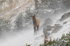 Young Elk bull weathers a ground blizzard