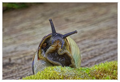 Excuse me I'm eating (Myrialejean) Tags: snail shell mollusc wildlife forna garden creature spiral macro