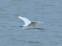 Flying Little Egret