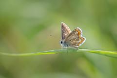 argus in the sunshine (Emma Varley) Tags: butterfly brownargus sunshine summer grass shallowdepthoffield orange brown spots blue fur bokeh bright cheerful southdownsnationalpark westsussex