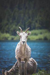 Billy Goat Scruff