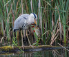 Grey Heron and dinner - (Ardea cinerea) 'Z' for zoom (hunt.keith27) Tags: ardeacinerea greyheron topsham tall with long legs beak grey black white feathering neck stretched out bent bird water withfish huge fish fishinbeak swallow
