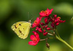 Yellow Orange Tip-- underside (AnilGoyal Pixelart) Tags: butterfly india asola delhi anilgoyalpixelart anilgoyal morning photography canon macrowithatelelens