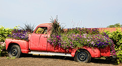 Sauvie Island_1 (creepingvinesimages) Tags: htt pickup truck red flowers vintage outdoors sauvieisland oregon nikon d7000 pse14 topaz