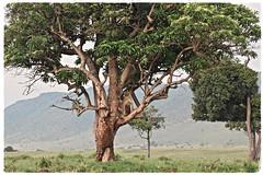 """You Can't See Me"" (The Spirit of the World) Tags: lioness tree acacias trees lion bat bigcat feline raresighting themara masiamara kenya eastafrica africa nationalpark gamereserve wildlife nature savannah"