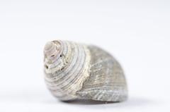 (amy20079) Tags: newengland maine highkey macromondays macromondayshighkey macro indoors pattern natural shell seashell exoskeleton
