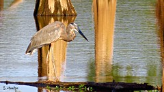 Reflections and a Heron (Suzanham) Tags: greatblueheron heron wadingbird aquaticbird reflections swamp water cypress cypressswamp mississippi southern nature wildlife log peace tranquility noxubeewildliferefuge canonpowershotsx60hs