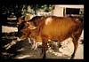 Small Dairy Farmar In Monbasa = モンバサの小規模酪農家の状況 (JIRCAS) Tags: アフリカの広域家畜疫病の抵抗性育種に関する研究 ケニア モンバサ 畜産 農業経営 dairy farmar tropical monbasa kenya