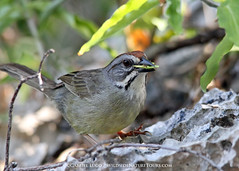 Zapata Sparrow (gabriellugo1) Tags: bcphotocontest2017 theendemics endemics