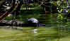 Turtle (press Z) (LEOBA Puthenthope - New York) Tags: turtle turtlepond centralpark manhattan