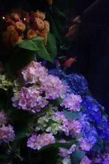 Hydrangea Aquarium (PBY) Tags: enoshima japan kanagawaken katasekaigan topflickr geo:lat=3530995600 geo:lon=13947958400 geotagged imgp0533jpg jpn