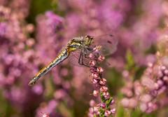 Black Darter (Peter Quinn1) Tags: blackdarter dragonfly heather derbyshire ramsleymoor easternmoors easternmoorspartnership moorland summer bigmoor