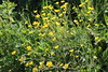 Golden flowers (Ievinya) Tags: yellowflowers dzeltenaspuķes gundegas buttercup kingcup crowfoot rununculus ranuncolo flowers puķes ziediņi