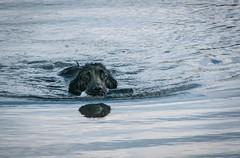 Po & her reflection:  retrieve at Lake Pastorius (kfpsardou) Tags: 52in2017 favorites water