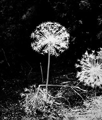 Stand Up (Demmer S) Tags: nature plants outdoors bloom grasses flowers blooming weeds foliage gardening blossom spherical round sphere circular shapes flora botanical garden onblack blackbackground outside plant globe globeshaped flowering gardens globes bw monochrome blackwhite blackandwhite blackwhitephotos blackwhitephoto
