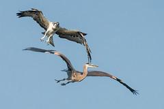 Territorial Dispute (mjeedelbr) Tags: territorial dispute osprey great blue heron