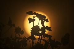 Sag es durch die Blume (PeterThoeny) Tags: weiser idaho sun plant shrubs leave circle day sony nex6 tamron tamronsp150600mmf563 600mm 1xp raw photomatix hdr qualityhdr qualityhdrphotography fav200