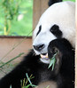 Giant Panda (lesbaer4) Tags: ouwehandsdierenpark ouwehandszoo ouwehands giantpanda panda pandasia wuwen xingya