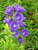 campanula (pietro68bleu) Tags: campanula fleur jardin campanule
