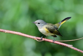American Redstart female by Jackie B. Elmore 9-4-2017 Lincoln Co. KY