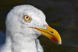 Jonathan Livingston Seagull - Silbermöwe