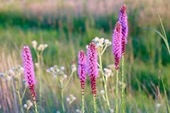 pink (laurie_frisch) Tags: thick spike gayfeather wildflowers iowa wickiup hill nature center outdoor learning prairie flowers pink