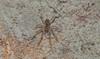Aspergillus Mold spider Airlie Beach rainforest P1030496 (Steve & Alison1) Tags: mold spider airlie beach rainforest aspergillus sp trichocomaceae