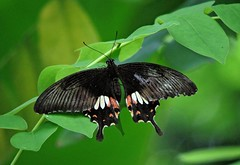 Common Mormon - Female - Stichius form (sreejithkallethu) Tags: papiliopolytes papiliopolytesstichiusform butterflies butterfliesofkerala commonmormonfemale commonmormonfemalestichiusform commonmormonstichiusform neeravil kollam kerala