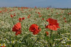 Dem Himmel so  nah auf der Blumenwiese (Sockenhummel) Tags: landstrasse mohn urlaub mohnblüten getreide getreidefeld sommer klatschmohn poppies blumen blüten mecklenburg fuji x30 fujifilm finepix fujix30