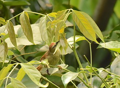 Pin-striped Tit-babbler (Natureholic001) Tags: pinstripedtitbabbler natureholic bangladesh lawacharanationalpark srimongal bangladeshibirds birds wetlandbird birdlover birdy wildlifeofbangladesh birdsofbangladesh avifauna avifaunaofbangladesh localbird