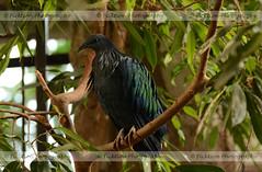 Nicobar Pigeon (ficktionphotography) Tags: birdkingdom nicobarpigeon bird avian niagarafalls canada zoophotography