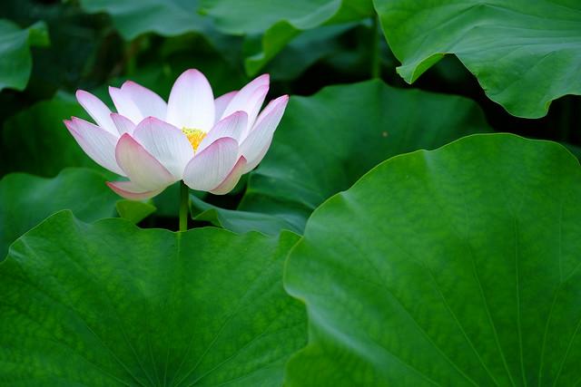 【色別】蓮の花言葉|白/紫/黒/怖い/由来/睡蓮