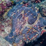 Giant Frogfish? - Antennarius cf. commerson thumbnail