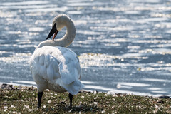 Lost Trumpeter Swan (Chatham Sound) Tags: esquimalt lagoon canada britishcolumbia vancouverisland trumpeter swan nikond5 tamron150600mmlens