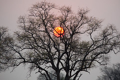 The sun was caught in a tree (Ring a Ding Ding) Tags: africa hwangenationalpark linkwasha sunset zimbabwe nature safari wild matabelelandnorth coth coth5