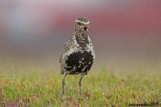 Singing in the rain...  Golden Plover
