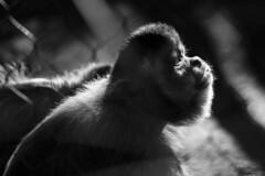 - A Sincere Look - (Federico Prevedello Photography) Tags: animals animal nature natgeo nationalgeografic look eyes blackandwhite bw zoo sandiego california usa canon