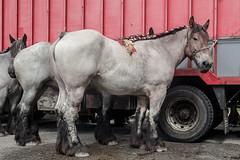 Wemmel, Jaarmarkt 2017 #56 (foto_morgana) Tags: animals belgique belgium belgië horses jaarmarkt2017 mammalia mammals mammifères nature outdoor säugetiere wemmel zoogdieren