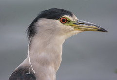Black-crowned Night Heron (Nycticorax nycticorax) (fugle) Tags: reno nevada blackcrownednightheron virginialake washoeco