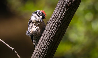 Nuttall's Woodpecker derp  Temescal Canyon Los Angeles 036