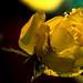 Eine+Gelbe