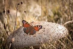 Happy Start into the Week! (ursulamller900) Tags: inachisio butterfly schmetterling mushroom pilz parasol trioplan2950 meadow wiese tagpfauenauge