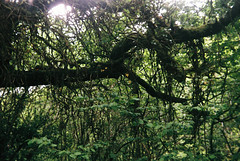 Woods 9 (avenwildsmith) Tags: film 35mm nature devon countryside analog analogue kodak retinette 1b grain england britain wild wilderness vine vines plant plants wood woods forest 35mmfilm kodakretinette1b