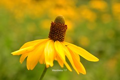 (WendieLarson) Tags: wickedhair wendielou wildflower wildflowers wild flower fleurs flowers fiori d7000 sierranevada california color yellow flora bloom blossom nikon nature nationalparks mountains macro landscape landscapes petals plant coneflower meadow huntingtonlake