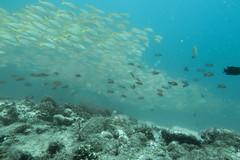 Banco di Azzannatori. Black Spot Snappers Bank. ( Lutjanus Fulviflamma). (omar.flumignan) Tags: maayathila arinord northari banco azzannatori blackspotsnappers bank lutjanusfulviflamma vacanza holiday immersione dive pesci fisch mysachika maldive maldives flickrtravelaward allnaturesparadise ngc canon g7xmk2 fantasea fg7xmk2 ikelite ds51 sea mare